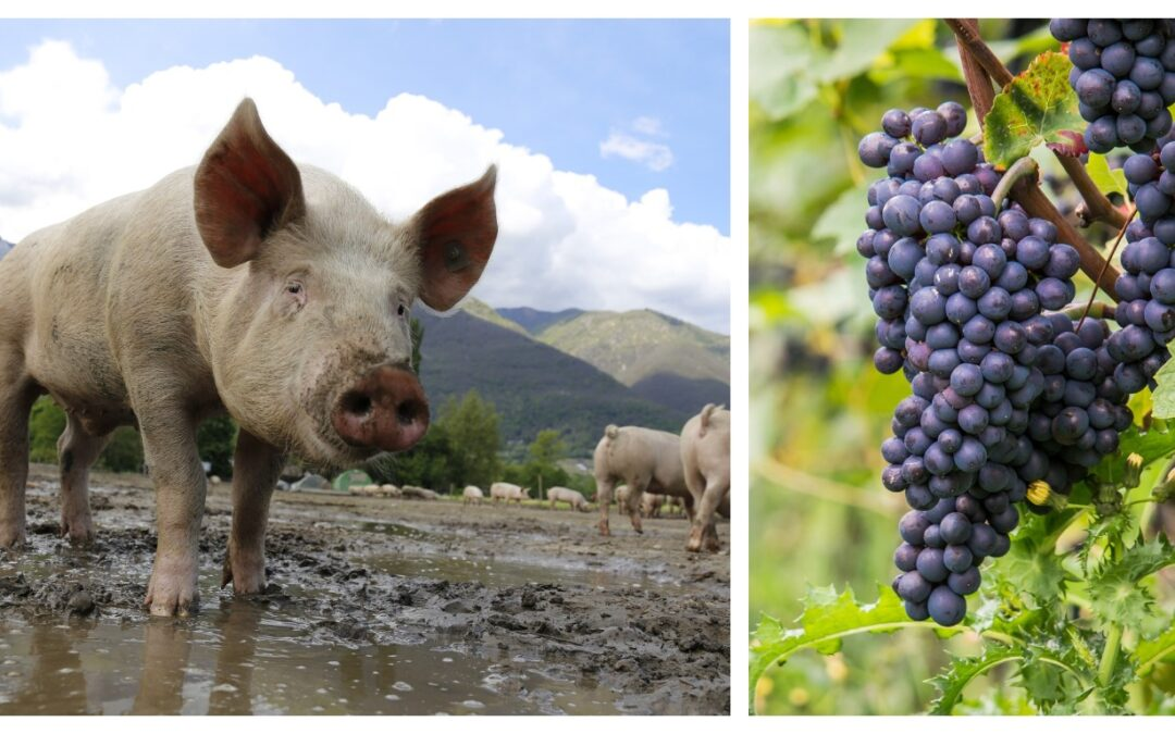 Development plans for a pig rearing business and vineyard in Ukraine and Georgia