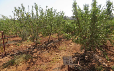 Almond Orchard Morocco